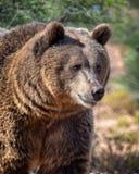 Urso pardo fêmea no sol do amanhecer foto de stock royalty free