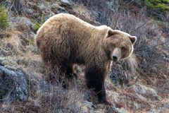 Urso pardo [horribilis dos arctos do ursus] na montanha acima de Savage River no parque nacional de Denali em Alaska EUA imagem de stock