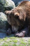 Urso pardo marrom grande que encontra-se no sol foto de stock