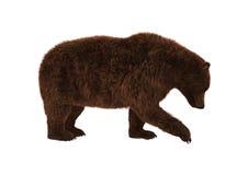 Urso pardo no branco Fotos de Stock Royalty Free