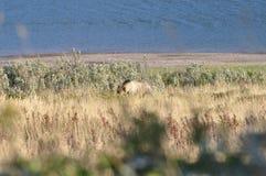 Urso pardo no parque nacional de geleira Imagens de Stock