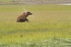 Urso pardo que agita fora da água Foto de Stock