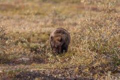 Urso pardo que alimenta na queda imagem de stock