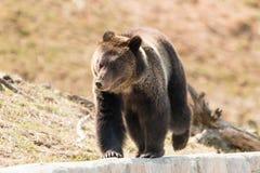 Urso pardo que anda em Yellowstone Fotos de Stock Royalty Free