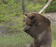 Urso pardo que balança o grande ramo Foto de Stock Royalty Free