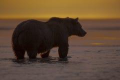 Urso pardo que olha para salmões durante o nascer do sol Fotografia de Stock