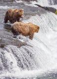 Urso pardos de Katmai NP fotografia de stock