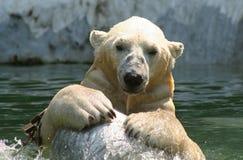 Urso polar Fotos de Stock