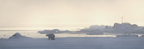 Urso polar Fotografia de Stock