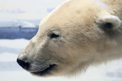 Urso polar Fotos de Stock Royalty Free