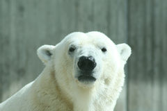 Urso polar Fotografia de Stock Royalty Free