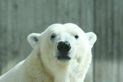 Urso polar Fotografia de Stock Royalty Free
