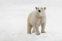 Urso polar Imagem de Stock
