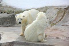 Urso polar. Foto de Stock