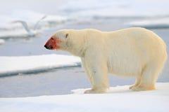 Urso polar, animal de vista perigoso no gelo com neve, sangue vermelho na cara em Rússia norte foto de stock royalty free