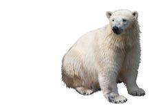 Urso polar assentado Fotografia de Stock Royalty Free