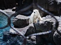 Urso polar atrás da cerca fotografia de stock