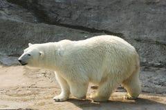 Urso polar branco Fotografia de Stock