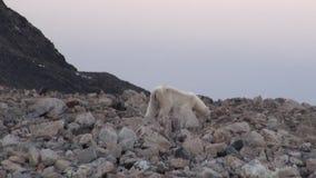 Urso polar branco na costa rochosa em desolado da tundra do gelo de Svalbard video estoque