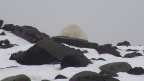 Urso polar branco na costa rochosa em desolado da tundra do gelo de Svalbard vídeos de arquivo