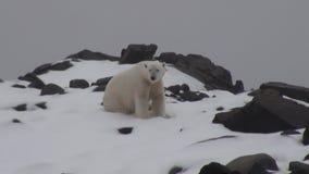 Urso polar branco na costa rochosa no abandonado da tundra do gelo de Svalbard filme