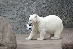 Urso polar branco pequeno com esfera Foto de Stock Royalty Free