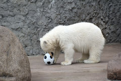 Urso polar branco pequeno com esfera Fotografia de Stock