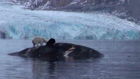 Urso polar branco perto de uma baleia inoperante na água na costa rochosa de Svalbard video estoque