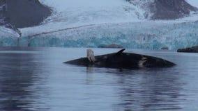 Urso polar branco perto de uma baleia inoperante na água na costa rochosa de Svalbard vídeos de arquivo