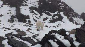 Urso polar branco que anda na neve em uma tundra gelada desolada de Spitsbergen filme