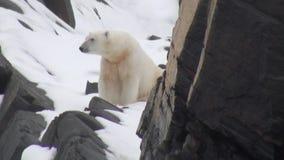 Urso polar branco que anda na neve em uma tundra gelada desolada de Spitsbergen video estoque
