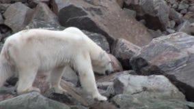 Urso polar branco que anda na neve no gelo desolado da tundra em Svalbard video estoque