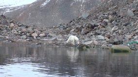 Urso polar branco que anda na neve no gelo desolado da tundra em Svalbard filme