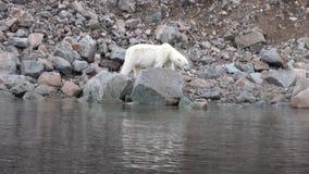 Urso polar branco que anda na neve no gelo desolado da tundra em Svalbard vídeos de arquivo
