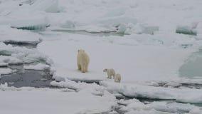 Urso polar com dois filhotes video estoque