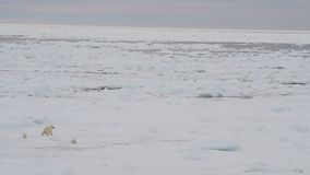Urso polar com dois filhotes filme