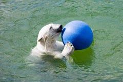 Urso polar com esfera foto de stock