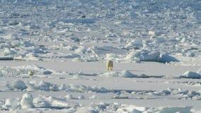 Urso polar com filhote vídeos de arquivo