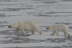 Urso polar com filhote Fotografia de Stock Royalty Free