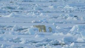 Urso polar com filhote video estoque