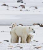 Urso polar com filhotes na tundra canadá fotografia de stock