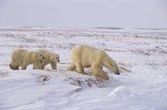 Urso polar com seus filhotes Foto de Stock Royalty Free