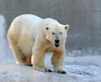Urso polar de bocejo imagem de stock