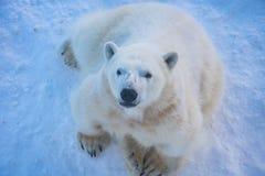 Urso polar do jardim zoológico de Ranua foto de stock royalty free