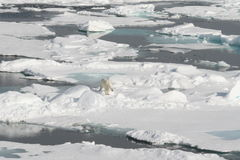Urso polar e andscape selvagens Imagens de Stock Royalty Free