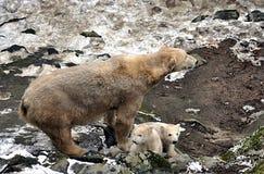 Urso polar e filhote Foto de Stock Royalty Free