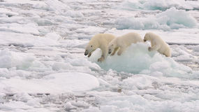 Urso polar e filhotes Imagem de Stock Royalty Free