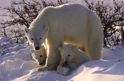 Urso polar e filhotes Fotos de Stock Royalty Free