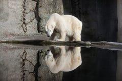 Urso polar e reflexão no jardim zoológico de Portland imagem de stock royalty free