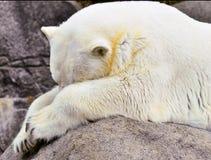 Urso polar em rochas Imagem de Stock Royalty Free